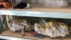 Những tảng đá thạch anh nạm vàng được các thợ mỏ khai quật mới đây. (Nguồn: Fortune)