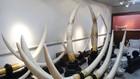 Phạm Minh Hoàng cùng Trần Trọng Cường đã dùng ngà voi giả đánh tráo ngà voi thật nhằm tránh bị phát hiện. Ảnh: Tâm Tâm St