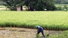Cư dân TP.HCM vẫn phải trồng lúa kiếm sống tại nền đất của dự án khu đô thị Bình Quới - Thanh Đa.