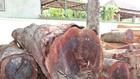 Gỗ tang vật thu giữ của trùm gỗ lậu Phượng râu