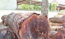 """Đắk Nông: 24 bị can bị khởi tố liên quan đến trùm gỗ lậu Phượng """"râu"""""""