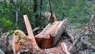 Khởi tố vụ khai thác trái phép gần 26m3 gỗ tại rừng phòng hộ