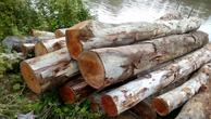 Đấu giá gỗ bạch đàn tại Bình Thuận