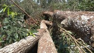 Ngày 31/8/2018, đấu giá gỗ rừng tự nhiên ngã đổ tại Bình Thuận