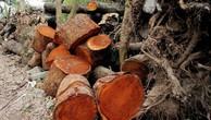 Ngày 4/10/2018, đấu giá 640 lóng gỗ cây xà cừ tại Tây Ninh