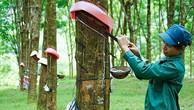 Ngày 2/10/2018, đấu giá quyền khai thác mủ cao su trên vườn cây thanh lý tại Bình Dương