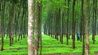 Ngày 22/11/2018, đấu giá 278,67 ha cây cao su thanh lý tại tỉnh Bình Dương