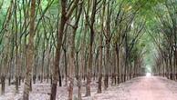 Ngày 28/12/2018, đấu giá lô 110.771 cây cao su thanh lý các loại tại tỉnh Đắk Lắk