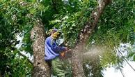 Đấu giá Cây cành nhánh thu hồi sau khi cắt tỉa cây xà cừ tại Phú Yên