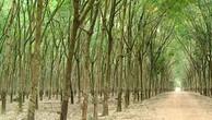 Ngày 01/02/2019, đấu giá 25,14 ha cây cao su thanh lý tại tỉnh Bình Phước