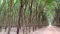 Ngày 7/3/2019, đấu giá 123,32 ha cây cao su thanh lý tại tỉnh Bình Phước