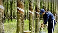 Ngày 8/4/2019, đấu giá quyền khai thác mủ cao su trên vườn cây thanh lý tại tỉnh Bình Dương