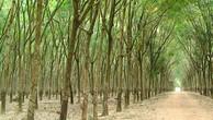 Ngày 16/5/2019, đấu giá 90.403 cây cao su thanh lý tại tỉnh Đắk Lắk