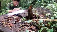 Nhiều câu du sam đường kính lớn bị chặt hạ trái phép tại khu bảo tồn