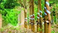 Ngày 10/6/2019, đấu giá quyền khai thác mủ vườn cây cao su tại tỉnh Tây Ninh