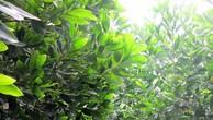 Đấu giá Rừng trồng Keo tai tượng tại thị xã Hương Trà, tỉnh Thừa Thiên Huế