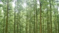 Đấu giá rừng trồng Keo lai hom tại Thừa Thiên Huế