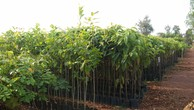 Giảm tới 20% phí bảo hộ giống cây lâm nghiệp