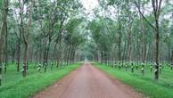 Đấu giá cây Cao Su thanh lý tại Bình Phước