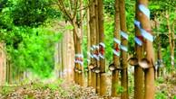 Đấu giá kết quả đầu tư và chuyển nhượng quyền trồng, chăm sóc, khai thác cây cao su, cây keo, cây tếch tại Đắk Lắk