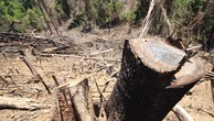 Xử lý nghiêm các vụ phá rừng tại Quảng Nam