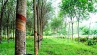Đấu giá Cây cao su thanh lý tại Tây Ninh