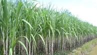 Đấu giá 17% vốn điều lệ Mía đường Tây Ninh