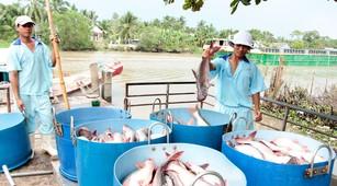 Năm 2018, xuất khẩu cá tra đạt kim ngạch cao nhất từ trước đến nay, ước khoảng 2,1 tỷ USD. Ảnh: Chí Quốc
