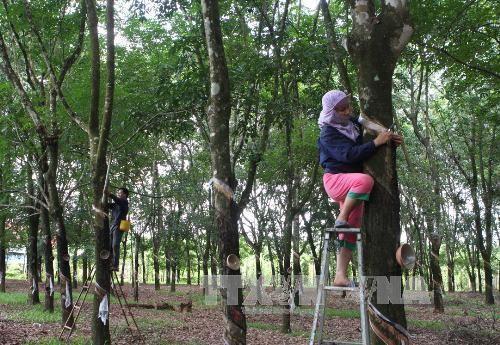 Ngành nghề kinh doanh của Công ty TNHH Một thành viên Việt Trung là trồng cây cao su, sản xuất và kinh doanh mủ cao su... Ảnh minh họa: TTXVN