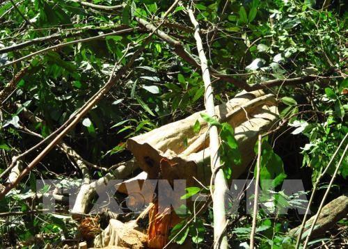 Rừng tự nhiên ở Phú Yên đang bị khai thác. Ảnh minh họa: TTXVN