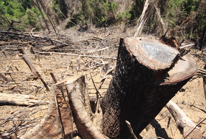 Xử lý nghiêm các vụ vi phạm phá rừng tự nhiên tại Quảng Nam