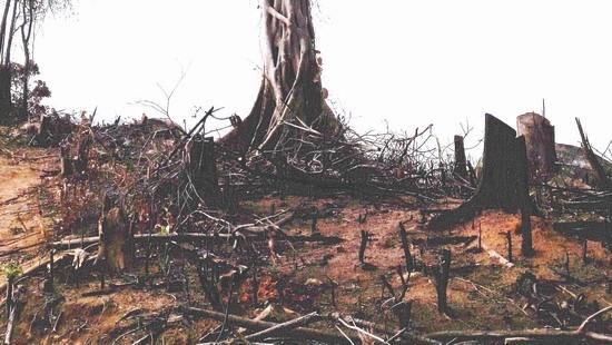 Một phần hiện trường diện tích ở xã An Hưng, huyện An Lão bị tàn phá