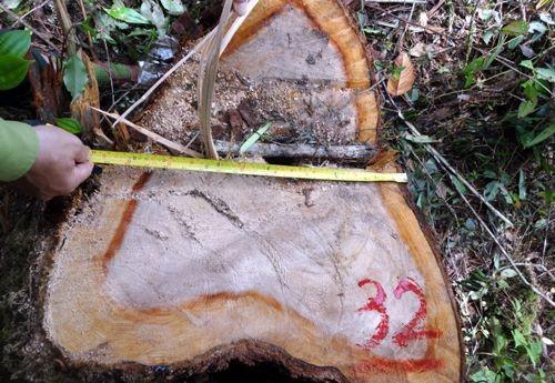 Những thân cây bị đốn hạ.