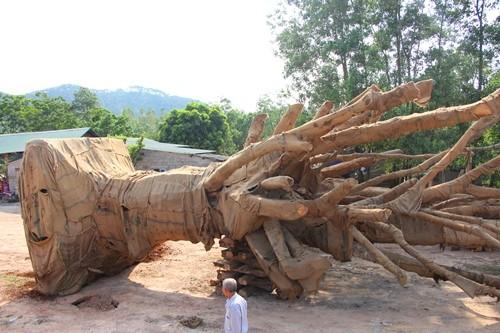 Ba cây cổ thụ đang nằm tại bãi đất trống trên đường tránh Huế.