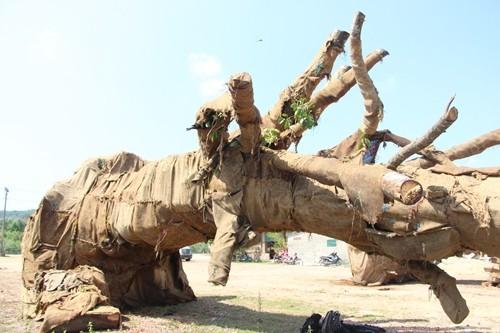 Chủ ba cây cổ thụ quá khổ, quá tải khai 'mua từ dân với giá 49 triệu' - ảnh 1