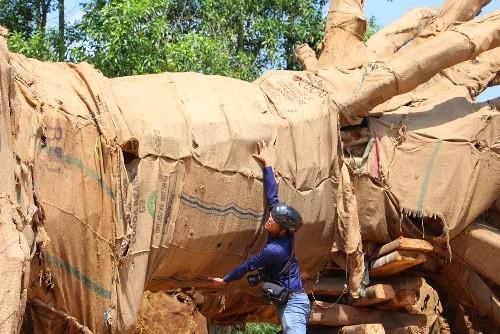 Chủ ba cây cổ thụ quá khổ, quá tải khai 'mua từ dân với giá 49 triệu' - ảnh 2