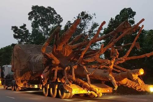 Một trong 3 chiếc xe chở cây quá khổ, quá tải bị cảnh sát giao thông Thừa Thiên Huế xử phạt hôm 30/3.