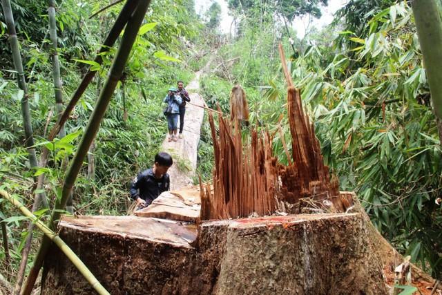 Quảng Nam: 2 nghi can chủ mưu phá rừng lim xanh ra đầu thú - ảnh 1