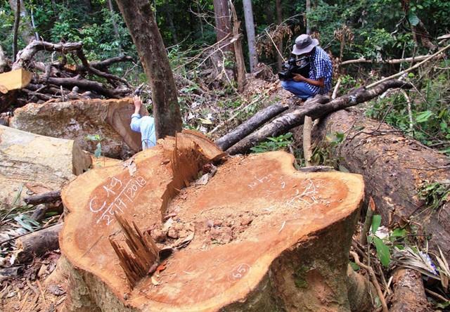 Bình Định: Khởi tố vụ 23 cây dổi lâu năm bị đốn hạ không thương tiếc - ảnh 2
