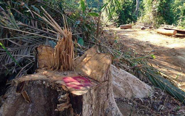 Quảng Nam: Bắt tạm giam giám đốc phá rừng tự nhiên