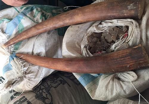Một phần số ngà voi và vảy tê tê bị cơ quan chức năng thu giữ hôm 4/10. Ảnh: Đ.X.