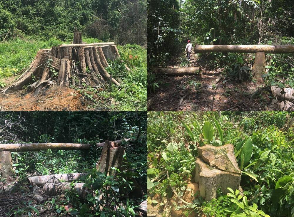 Cây gỗ bị chặt hạ trái phép tại khoảnh 7, tiểu khu 363, huyện Đồng Phú, tỉnh Bình Phước.