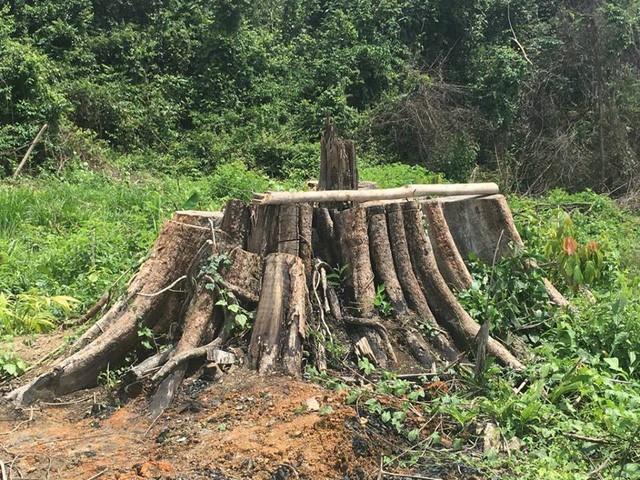 Tỉnh uỷ Bình Phước yêu cầu điều tra vụ phá rừng nghiêm trọng - ảnh 1