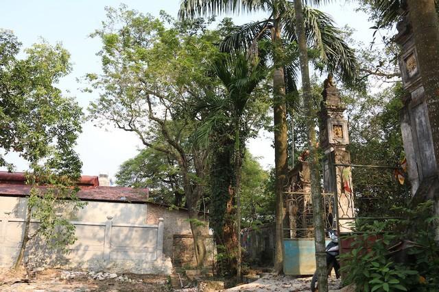 Cây sưa có tuổi đời trên 100 năm ở làng Phụ Chính (xã Hòa Chính, Chương Mỹ, Hà Nội).