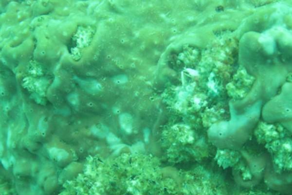 Lớp màng nhầy chứa độc tố bao phủ cá và rặng san hô gây hiện tượng hải sản chết được phát hiện vào tháng 6.