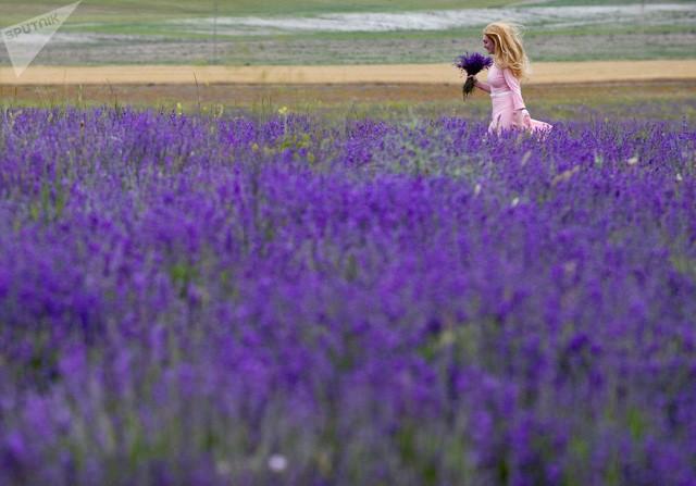 Một phụ nữ bước đi bên cánh đồng hoa oải hương tuyệt đẹp tại bán đảo Crimea, Nga (Ảnh: Sputnik)