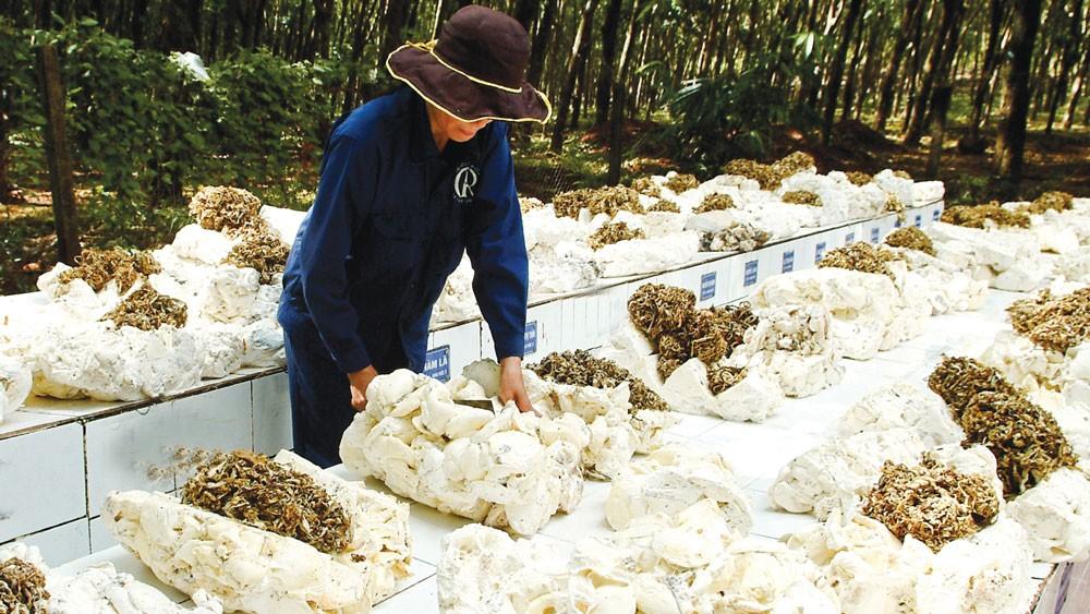 Hai nhà thầu nước ngoài đã mua cao su của các DN Việt Nam và chỉ định cho các DN này xuất khẩu tại chỗ cho Công ty Timatex Việt Nam