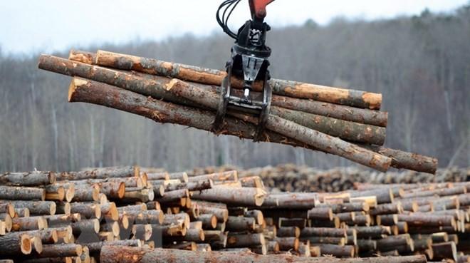 Sản phẩm gỗ mềm tại Công ty Murray Brothers Lumber ở Madawaska, Canada. (Nguồn: THE CANADIAN PRESS/TTXVN)