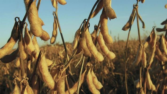 Đậu tương là nông sản xuất khẩu quan trọng nhất của Mỹ.