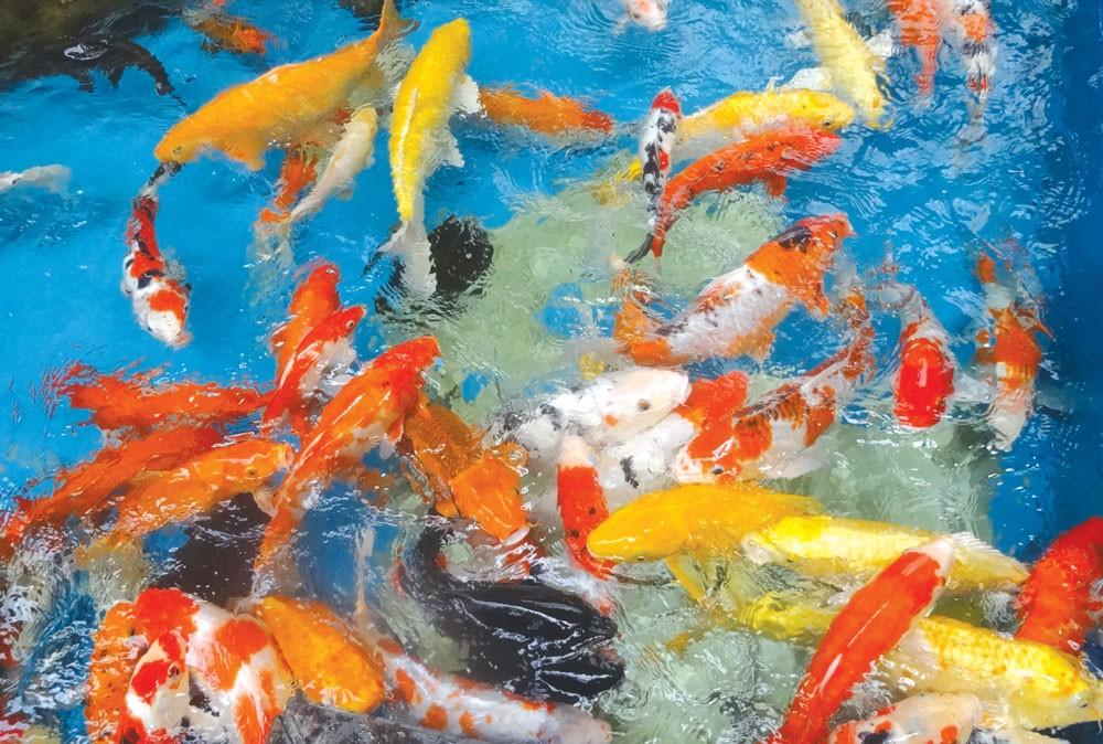 Thả cá chép tiễn ông Táo về trời là văn hóa tâm linh truyền thống của người Việt vào ngày 23 tháng Chạp hàng năm